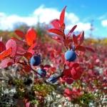 星野道夫の著作で読み解く「秋のアラスカ キャンプ・デナリ」