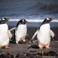 サウス・シェットランド諸島のジェンツーペンギン -南極クルーズ
