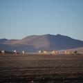 ビクーニャの楽園・シロリ砂漠をラグーナベルデへ