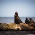 南極ゾウアザラシのハーレム:サウス・シェットランド諸島にて