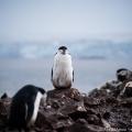 ヒゲペンギン:南極サウス・シェットランド諸島にて