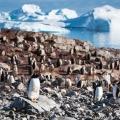 ジェンツーペンギンの楽園にて -南極・クーバービル島にて-