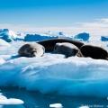 南極のアザラシの楽園・クーバービル島/南極クルーズ