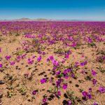 アタカマ砂漠が地平線まで花に覆われる「奇跡の花園」
