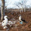 ガラパゴス諸島のアイドル:アオアシカツオドリの生態