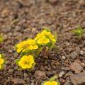 アタカマ砂漠の花:ロシータ・デル・カンポ(アカネ科)