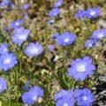 アタカマ砂漠の花:ススピロ(ナス科ノラナ)