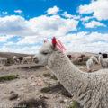 アンデス高原のラクダ「アルパカ」