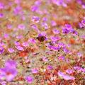 アタカマ砂漠を代表する花:パタ・デ・グアナコ