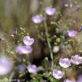 アタカマ砂漠の花:マルビーリャ(アオイ科)