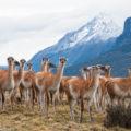 野生動物を撮るコツ:パタゴニアのグアナコ