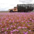 アタカマ砂漠の花園:エルニーニョ現象と生命の連鎖 3つの不思議