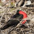ガラパゴス諸島の野生動物:赤い喉袋のグンカンドリ