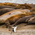 南極に輝く生命:サウスシェットランド諸島のゾウアザラシ