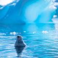 南極半島の野生動物:ウェッデルアザラシの昼寝