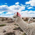 ラクダの楽園でアルパカと出会う/ペルー・コンドルの谷へ①