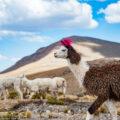 ラクダの楽園:人と共生するリャマ/ペルー・コンドルの谷へ②