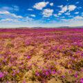 見頃を迎えるアタカマ砂漠の花畑「フラワーリング・デザート」