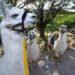 アンデスに生息する4種類のラクダ