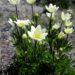 パタゴニアの花・ワイルドフラワー②:春の花・アネモネ